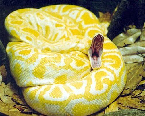 الثعبان الاصفر في الحلم